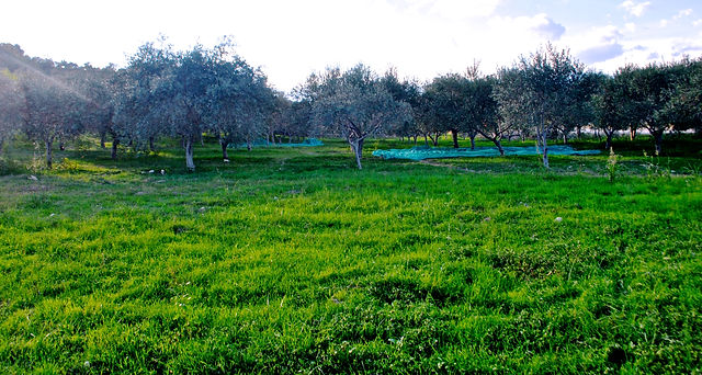 Olive Trees in the Olive Grove, Monasterace, Italy