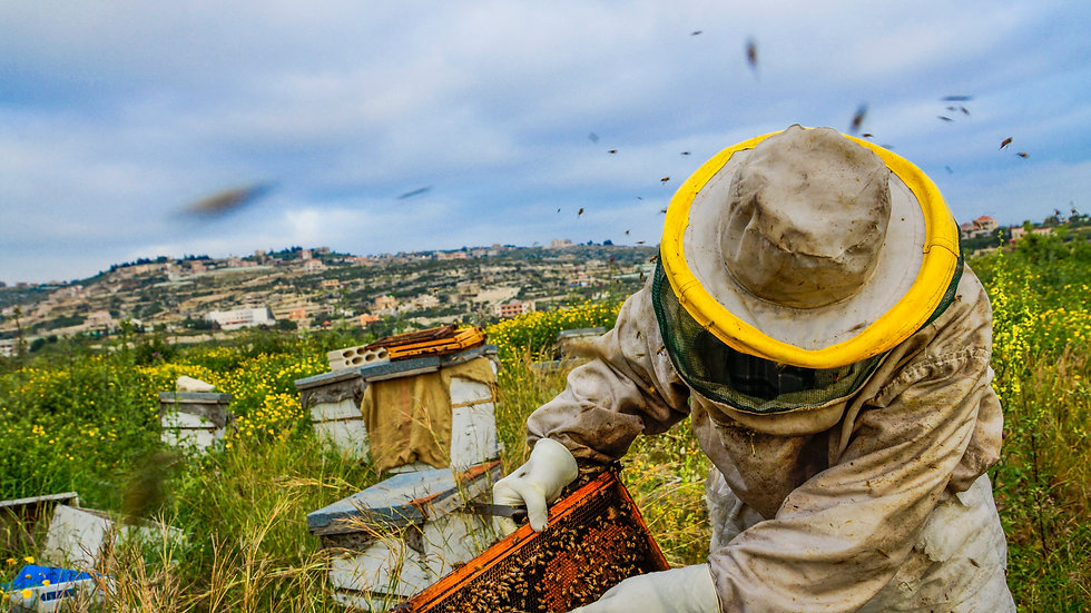 checking the beehive in lebanon