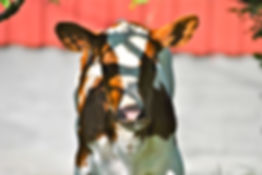Norway Cow