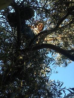 Leila Elamine picking Olives, Grol Garden, Cyprus