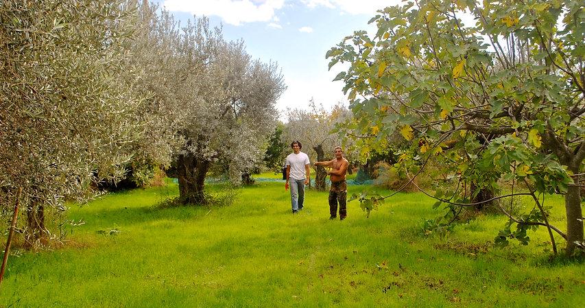 Anthony Morano, the Olive Picker, Italy