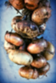 Tethered Onions, Imotski, Croatia