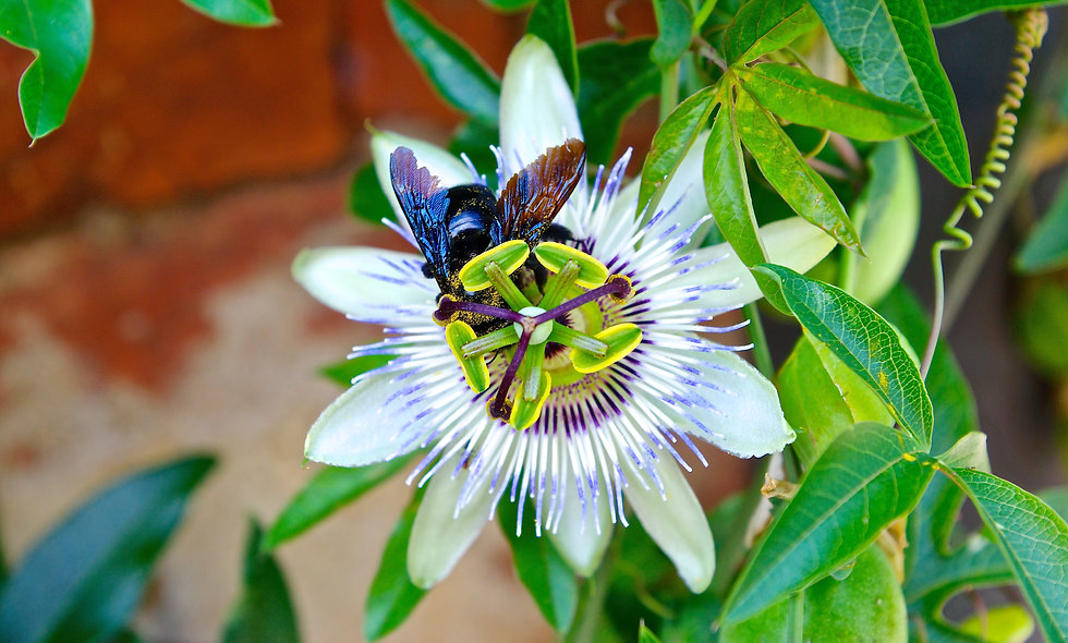Bee collecting nectar on a passion fruit