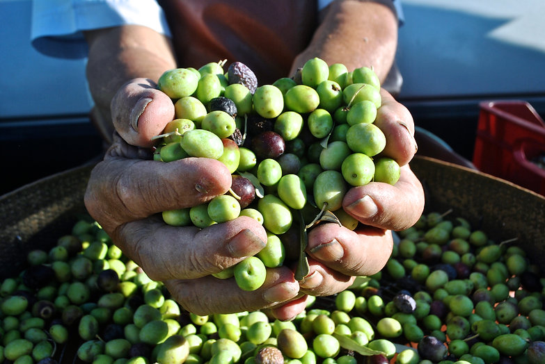 Olive Harvest in Calabria, Italy