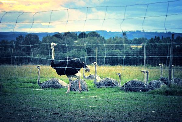 Sahlins Struts, an Ostrich Farm in Börlange, Sweden