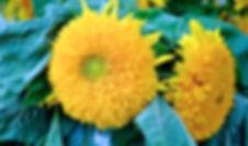 Sunflowers in Sweden