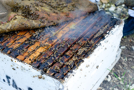 bees being smoked in their beehive in lebanon