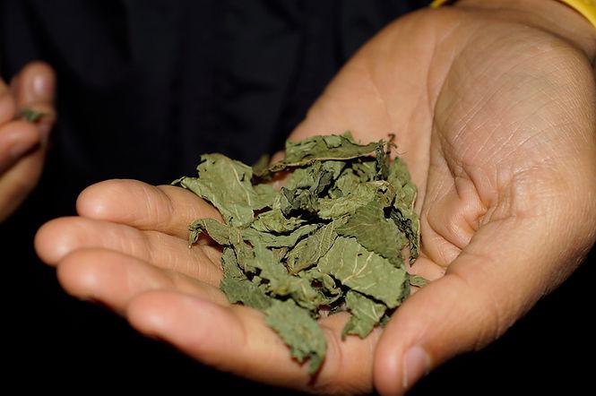dried molokhia leaves in hand, molokhia recipe, lebanese recipes