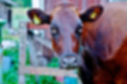Dairy Cow at Astrid's Swedish Dairy Farm in Alfta, Sweden