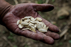 seeds of pumpkin for milpa