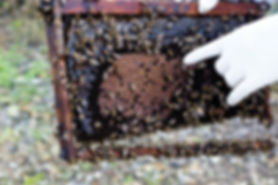 frame from a bee box showing closed and open honeycombs in lebanon