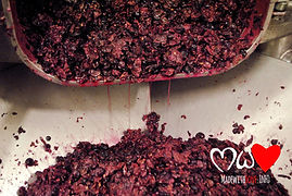 Fermented Grapes to make wine, Valentini Vineyards, Bocale, montefalco Italy