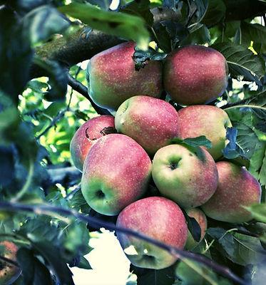 Apple Tree, Imotski, Croatia