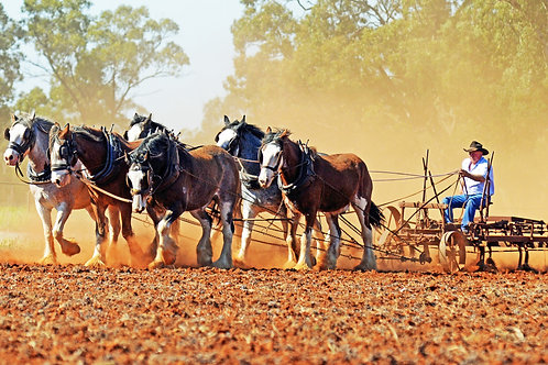 Clydesdales team of 6 Scarifying The Field