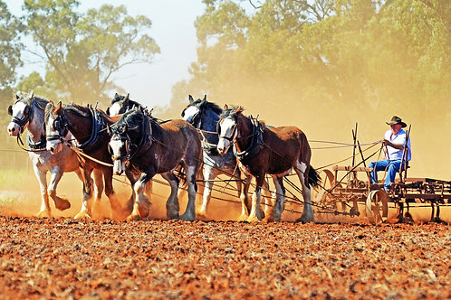 Team of 6 Clydesdales scarifying the field... from