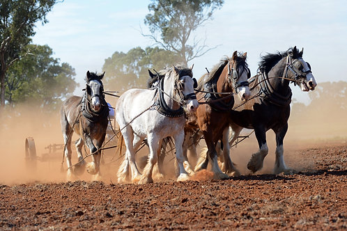 Clydesdales Working The Land... from