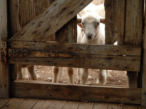 Lamb In The Doorway
