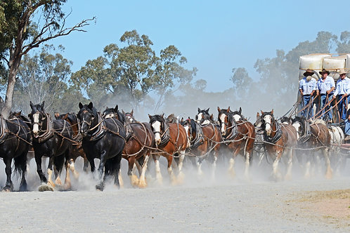 Clydesdales pulling a wagon of wool... from