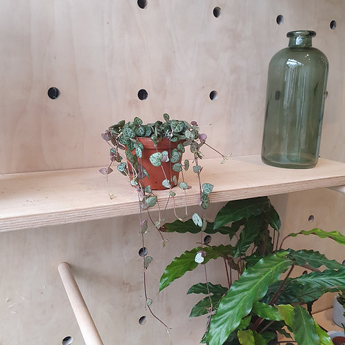 String of hearts plant (Ceropegia Woodii)