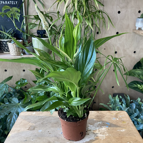 Spathiphyllum 'Peace Lily' plant