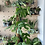 Thumbnail: Monstera Minima Plant - Large