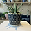 Thumbnail: Gasteria plant - Doreen 10.5cm dia