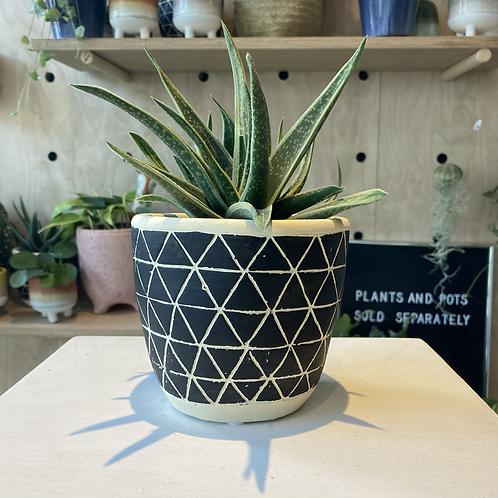 Gasteria plant - Doreen 10.5cm dia