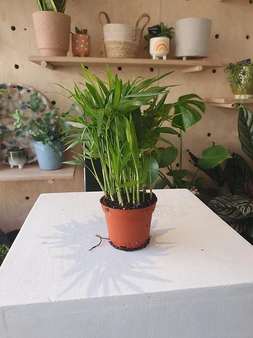 Chamaedorea Palm Plant - 7cm dia