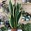 Thumbnail: Sansevieria (Snake Plant) - 14cm dia