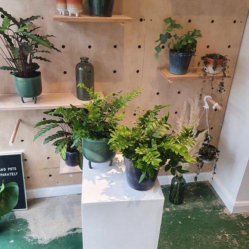 Fern Plant 2