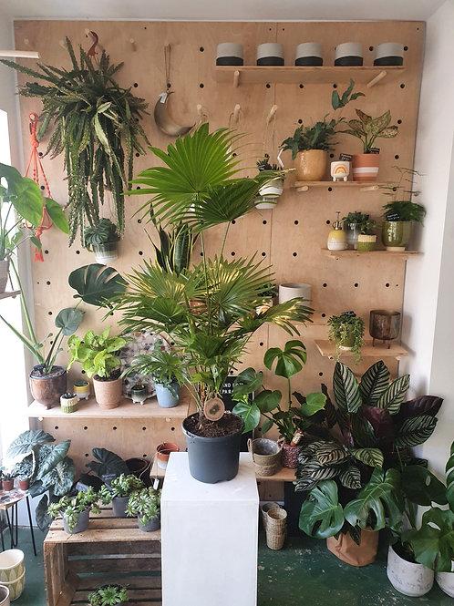 Livistona Rotundifolia (Fan Palm) - 21cm dia
