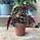 Thumbnail: Mini Polkadot Plant (Begonia) - 7cm dia