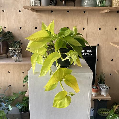 Epipremnum 'golden pathos' hanging plant (lime colour)