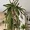 Thumbnail: Lepismium Cruciforme Red Tip hanging plant