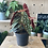 Thumbnail: Polkadot Plant (Begonia) - 14cm dia