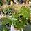 Thumbnail: Fatsia Japonica plant