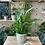 Thumbnail: Spathiphyllum 'Peace Lily' plant