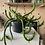 Thumbnail: Euphorbia Ellenbeckii hanging plant