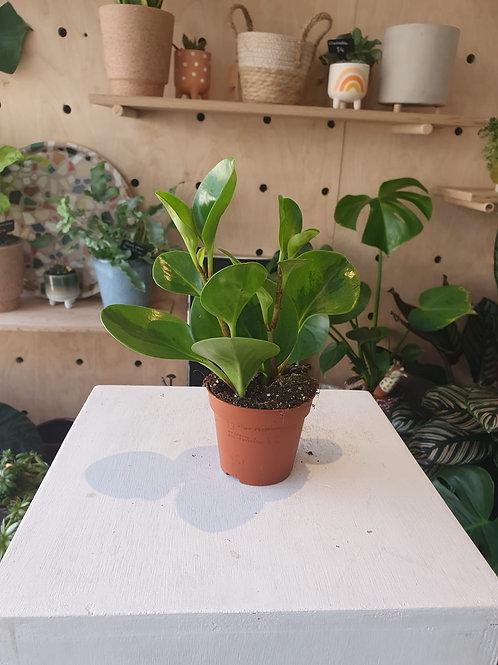 Peperomia plant - 8cm dia