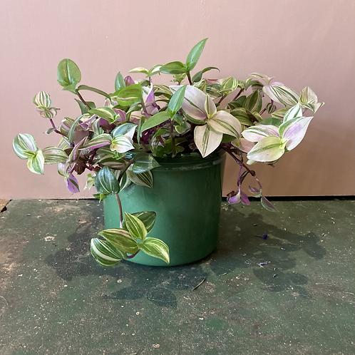 Tradescantia Plant - 12cm dia