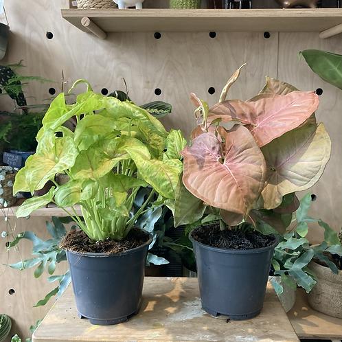 Syngonium Plant - 14cm dia