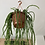 Thumbnail: Rhapsalis Paradoxa Minor hanging plant