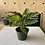 Thumbnail: Calathea 'Freddie' plant - small