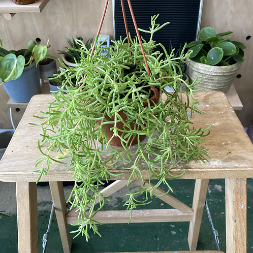 Senecio Twinkle Star plant