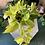 Thumbnail: Epipremnum 'golden pathos' hanging plant (lime colour)