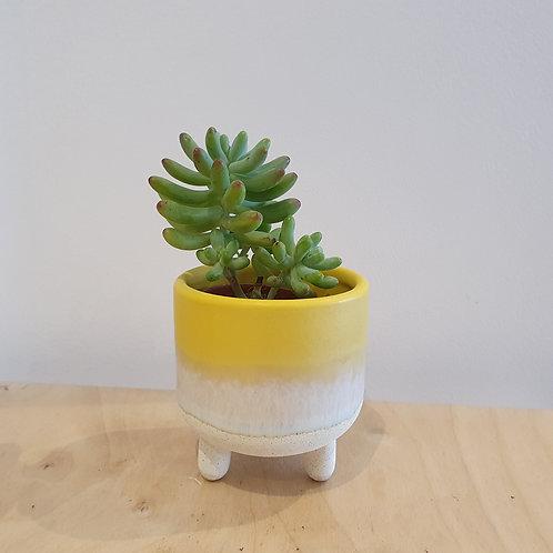 Mini Succulent Plant - 5cm dia