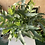 Thumbnail: Blue Star Fern Plant - 14cm dia
