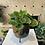 Thumbnail: Pilea Plant