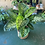 Thumbnail: Dieffenbachia Seg 'Reeva' plant
