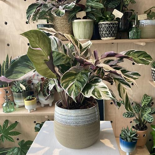 Calathea 'Fusion White' Plant - 14cm dia